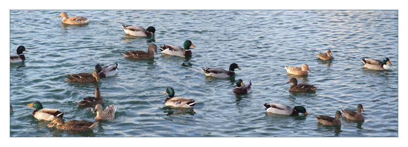 famille de canards à Valras