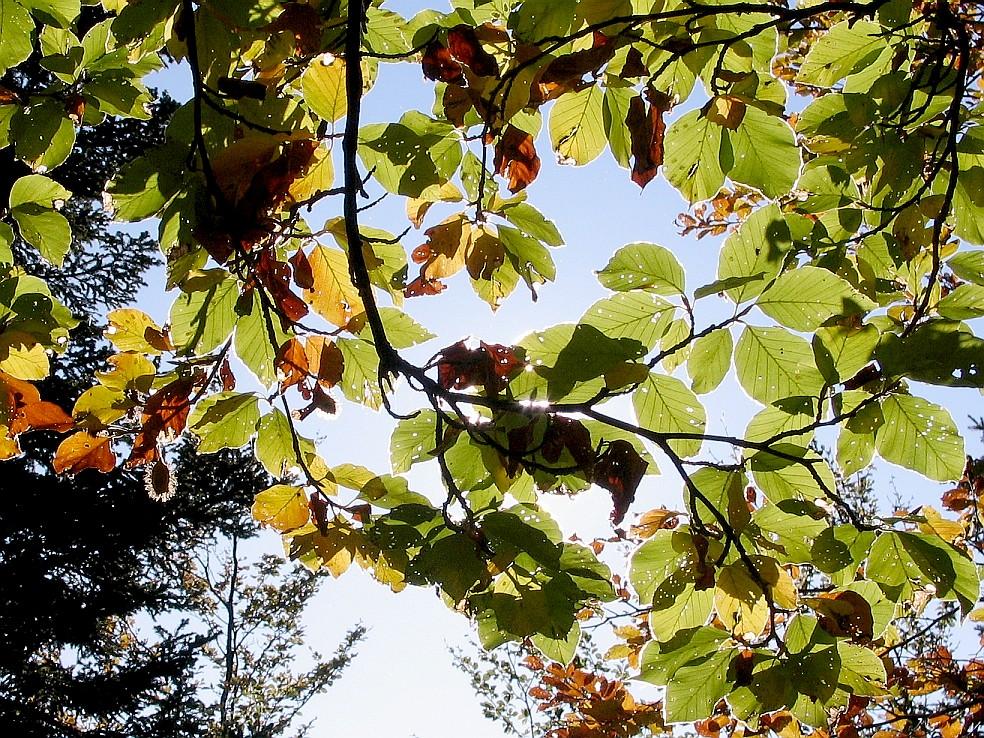 Feuilles de hêtre et fruit