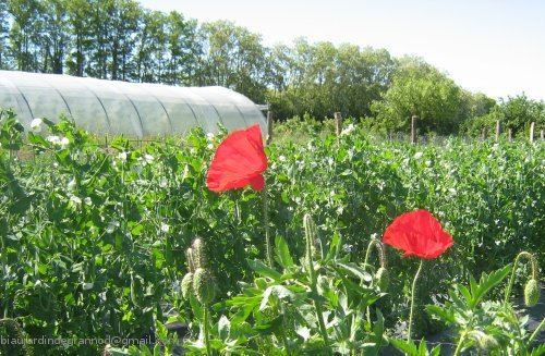 http://sd-1.archive-host.com/membres/images/83700288762628507/pages/bf_coquelicots500marq.jpg