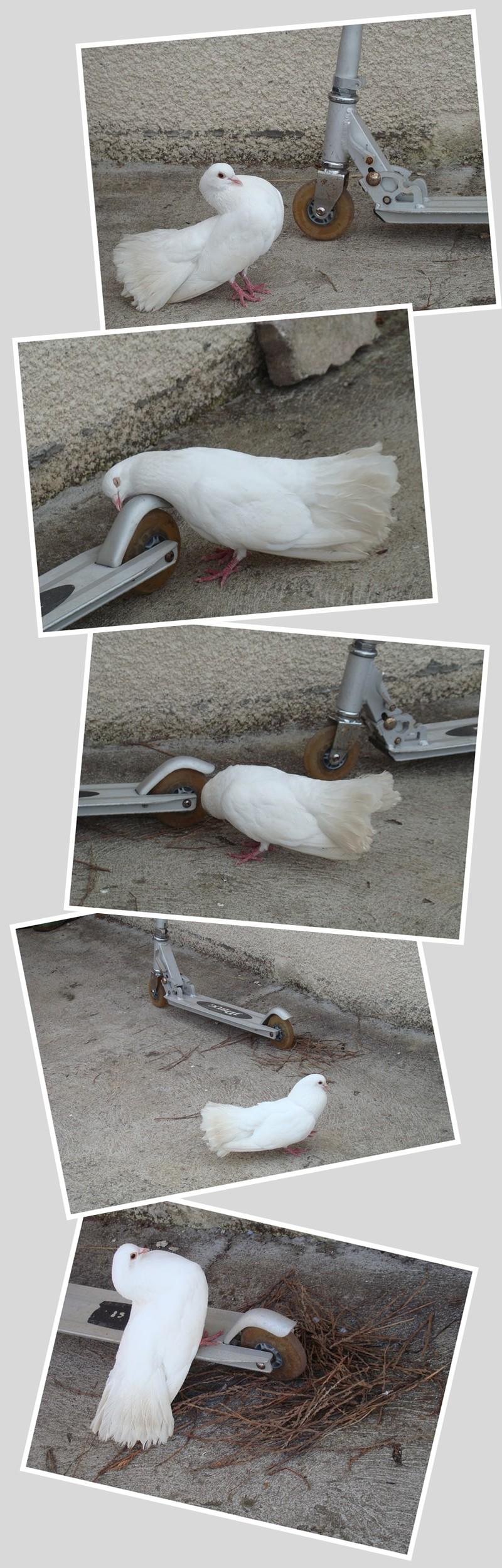 pigeontinette.jpg
