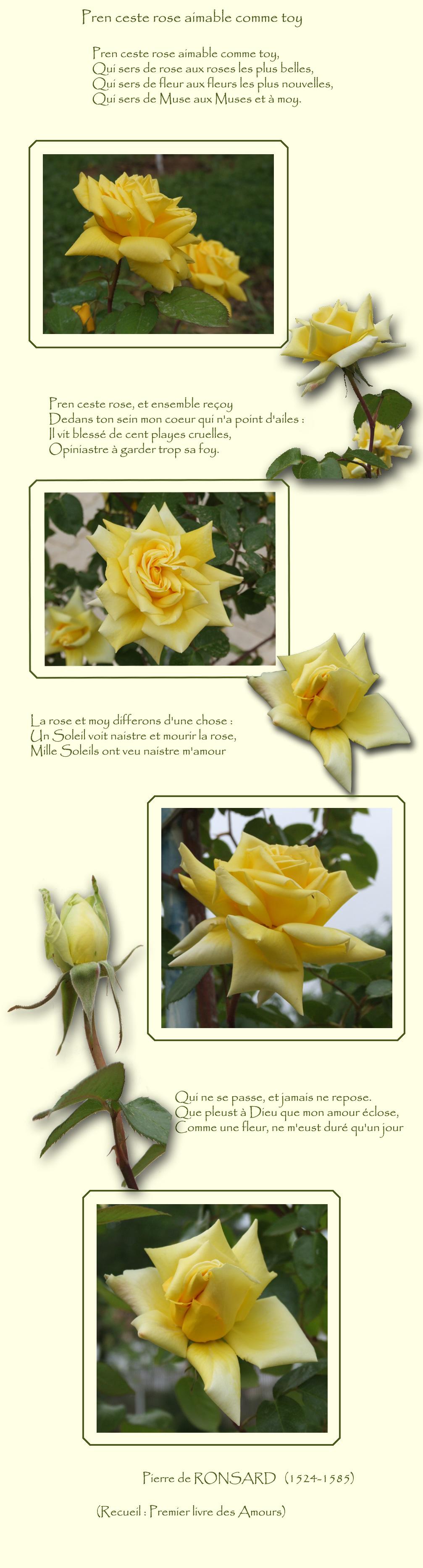 Des roses jaunes pour une ode de Rosars