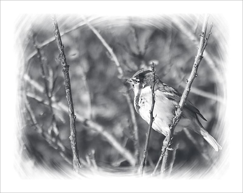 Moineau mâle en hiver