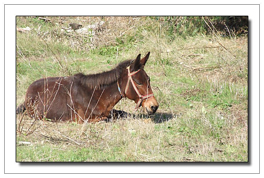Mule couchée dans l' herbe