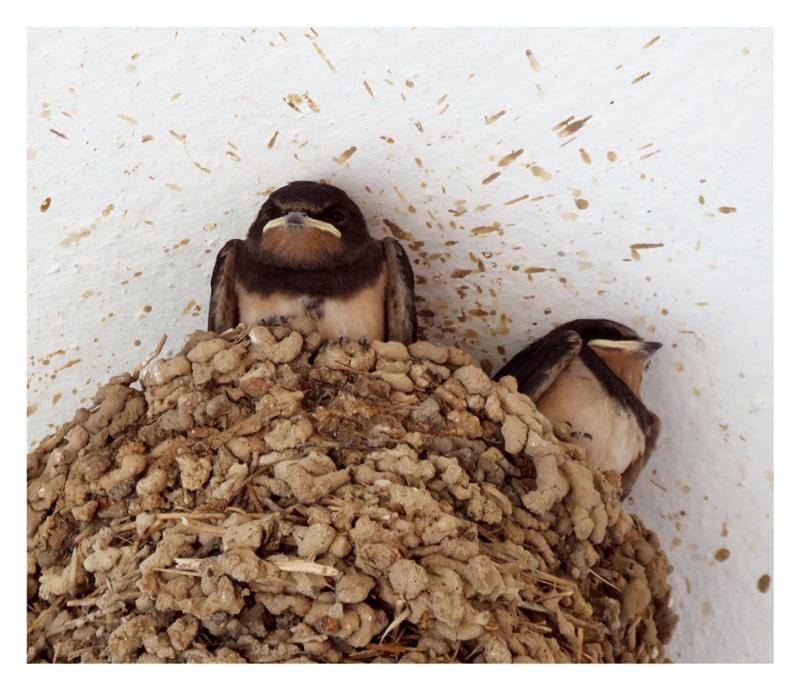 Hirondeaux au nid