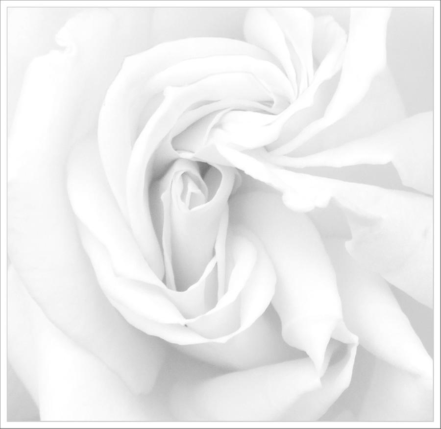 Cœur de rose blanche