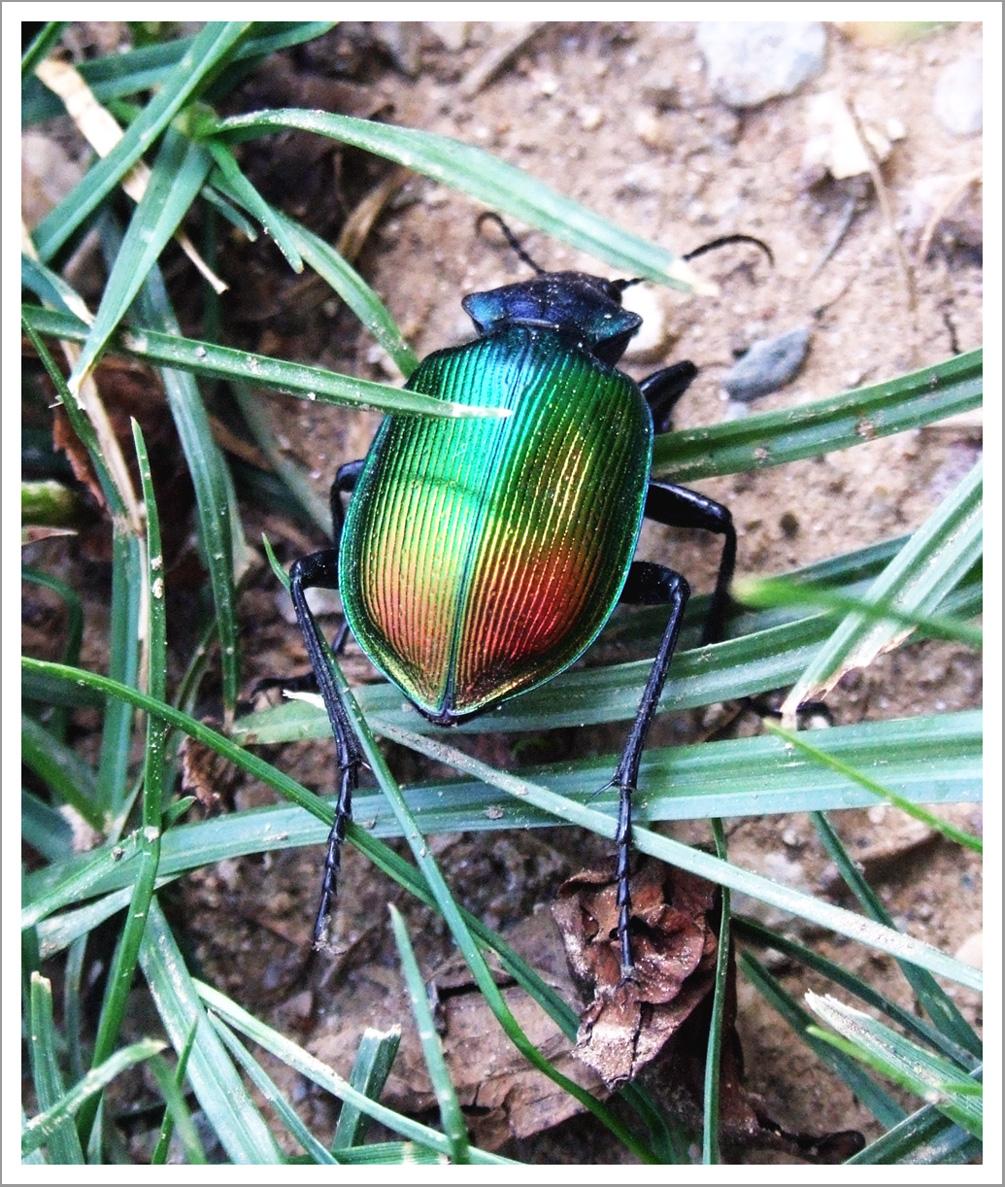 scarabée ?