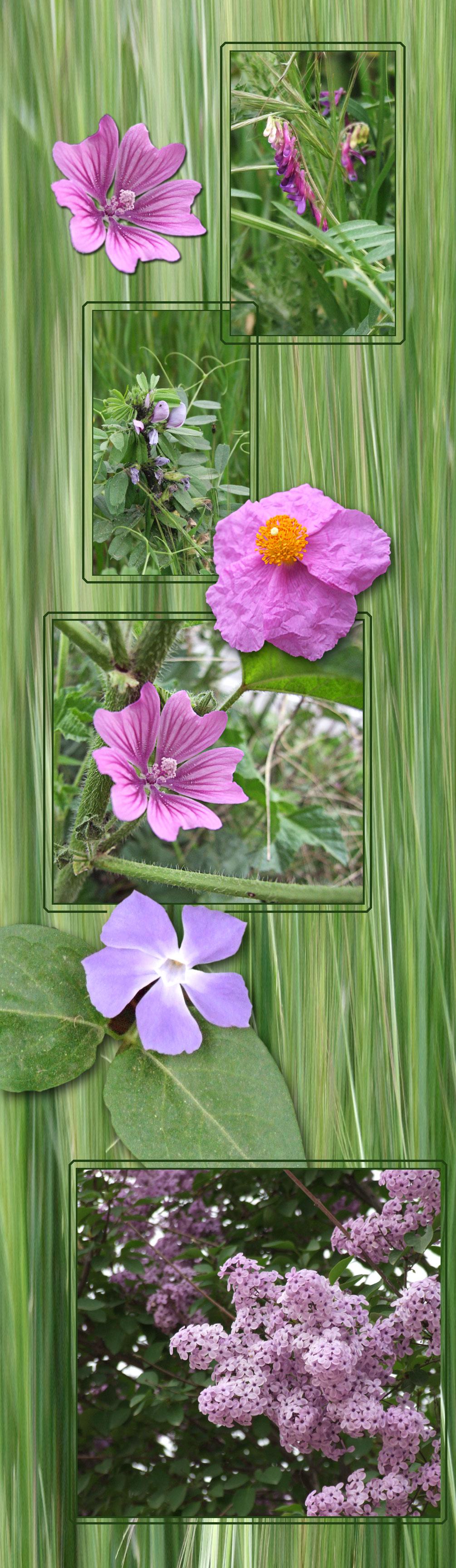 Fleurs mauves au bord du chemin