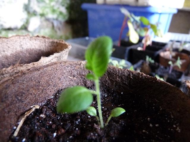 Graines de Pomme de terre / TPS (photos) P1030151