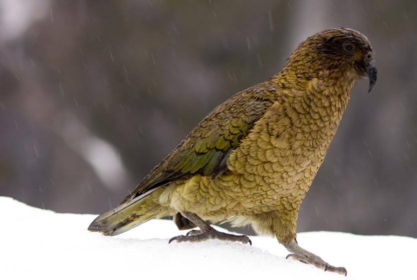 z'oiseaux rares KeaHg