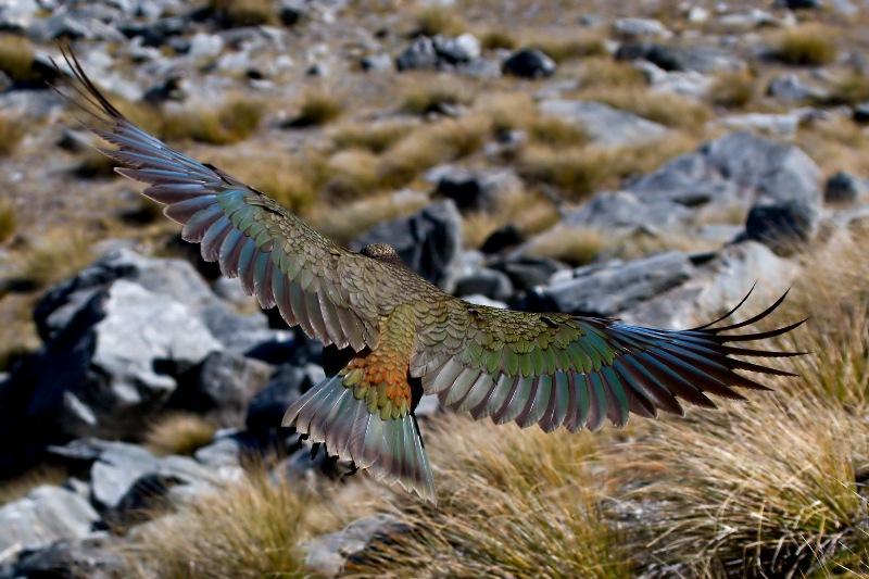 z'oiseaux rares Kea_in_Flight_MC