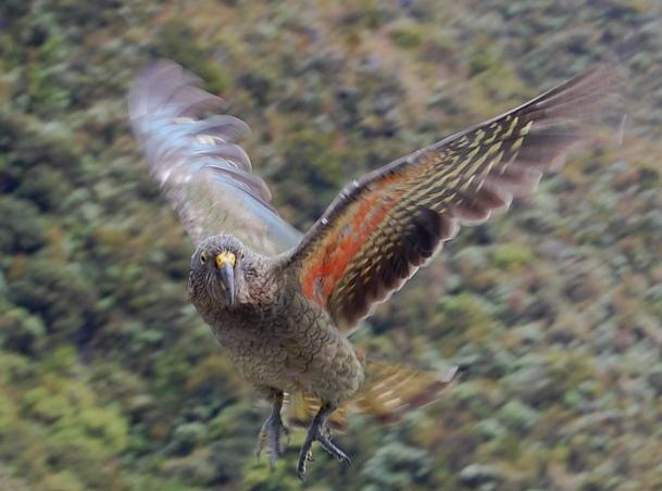 z'oiseaux rares Kea_in_flight