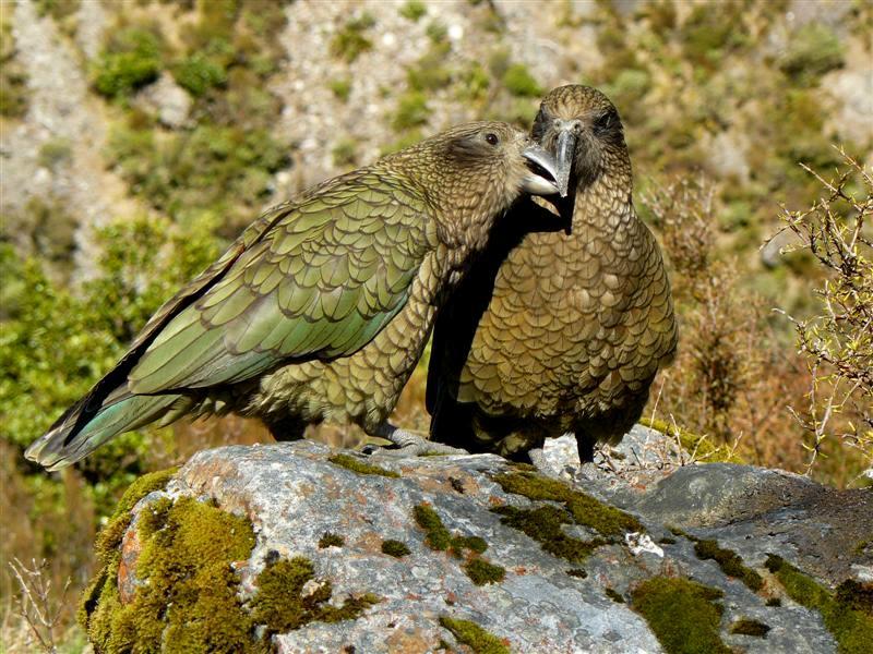 z'oiseaux rares Kea_pair