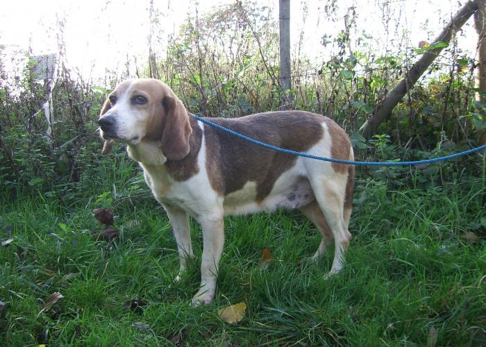 FAUSTINE, croisée beagle femelle de 14 ans incontinente (86) SSA54406